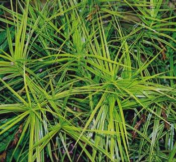 Carex muskingumensis 'Oehme' 7