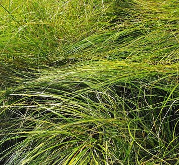 Carex praegracilis 1 form