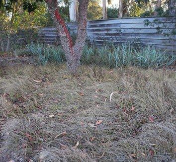 Carex praegracilis 8 dormant