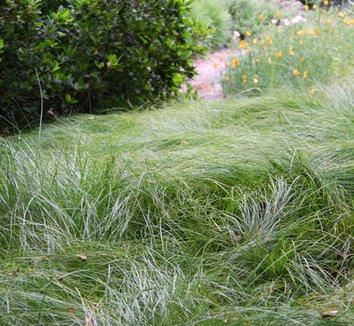 Carex praegracilis 5