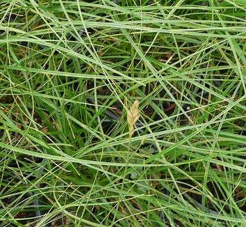 Carex praegracilis 11
