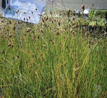 Carex praegracilis 12 flower