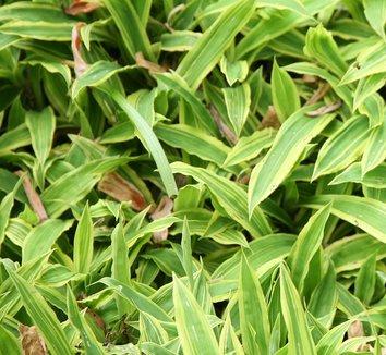 Carex siderosticta 'Shima-nishiki' 1
