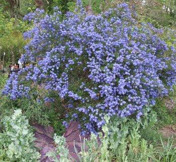 Ceanothus 'Concha' 2 flower, form