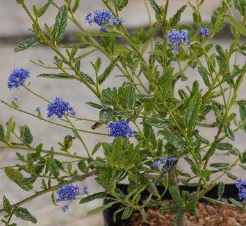Ceanothus 'Concha' 4 flower