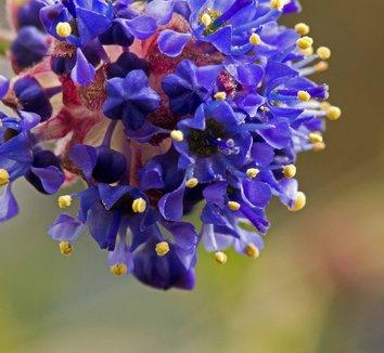 Ceanothus 'Concha' 12 flower