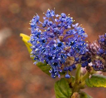 Ceanothus 'Concha' 8 flower