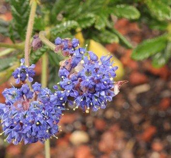 Ceanothus 'Concha' 10 flower