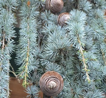 Cedrus atlantica 'Glauca Pendula' 8 cones