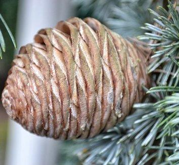 Cedrus atlantica 'Glauca Pendula' 10 cones