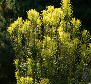 Cephalotaxus harringtonia 'Korean Gold' 3