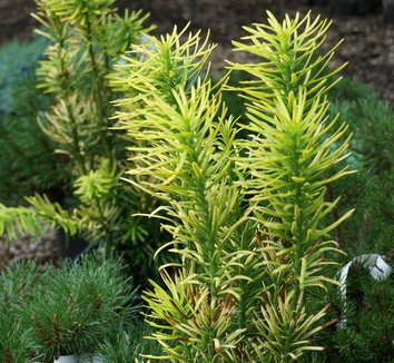 Cephalotaxus harringtonia 'Korean Gold' 9