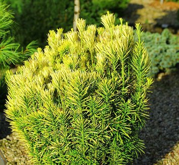 Cephalotaxus harringtonia 'Korean Gold' 12