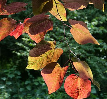 Cercis canadensis 'Forest Pansy' 4