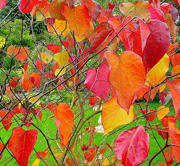 Cercis canadensis 'Forest Pansy' 2
