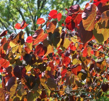 Cercis canadensis 'Forest Pansy' 8