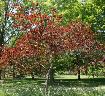 Cercis canadensis 'Forest Pansy' 6 form