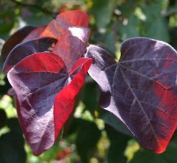 Cercis canadensis 'Forest Pansy' 12