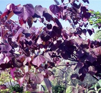 Cercis canadensis 'Forest Pansy' 15