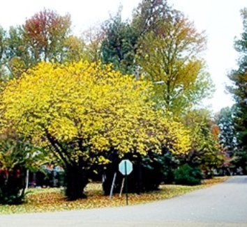 Cercis canadensis 'Forest Pansy' 14 form