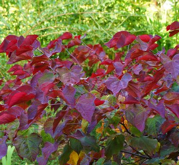 Cercis canadensis 'Forest Pansy' 20