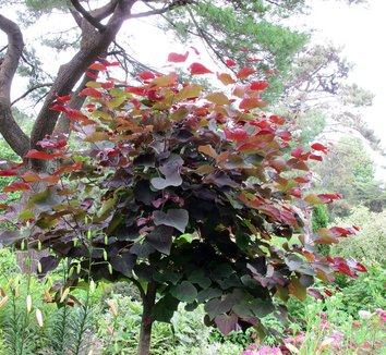 Cercis canadensis 'Forest Pansy' 21 form