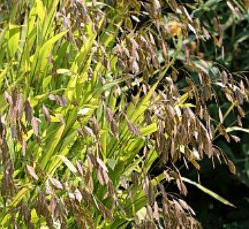Chasmanthium latifolium 5 flower