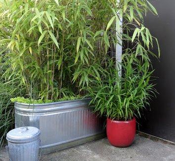 Chasmanthium latifolium 7