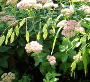 Chasmanthium latifolium 9 flower
