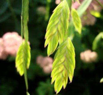 Chasmanthium latifolium 8 flower