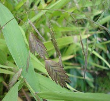 Chasmanthium latifolium 12