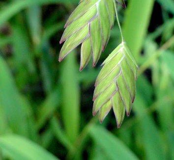 Chasmanthium latifolium 15 flower
