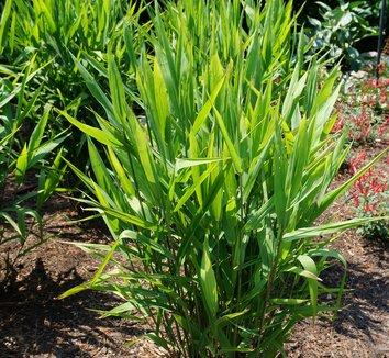 Chasmanthium latifolium 23