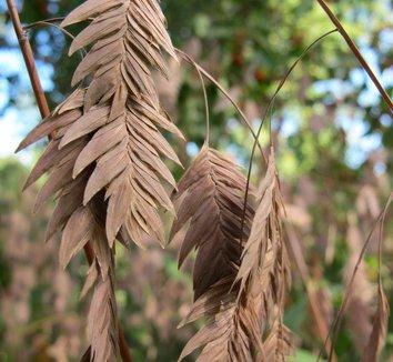 Chasmanthium latifolium 25 flower