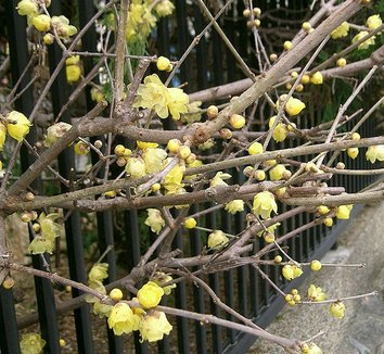 Chimonanthus praecox 7 flower