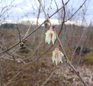 Chimonanthus praecox 8 flower