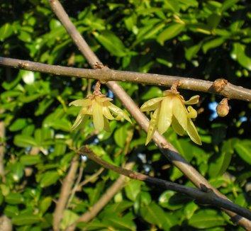 Chimonanthus praecox 10