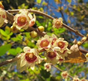 Chimonanthus praecox 12 flower