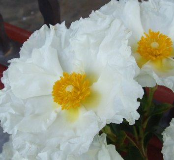 Cistus ladanifer v. petiolaris 'Bennett's White'