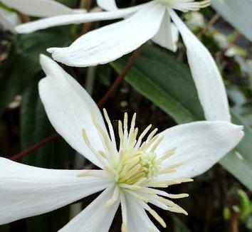 Clematis armandii 'Snowdrift' 1 flower