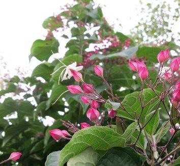 Clerodendrum trichotomum 24 flower