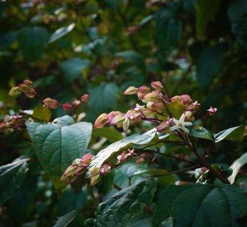 Clerodendrum trichotomum 25 flower