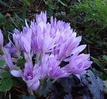 Colchicum 'Waterlily' 1 flower