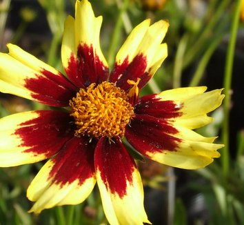 Coreopsis 'Cosmic Eye' PP22601 1 flower