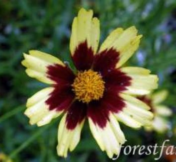 Coreopsis 'Cosmic Eye' PP22601 5