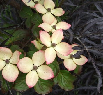 Cornus kousa 'Radiant Rose' 1 flower