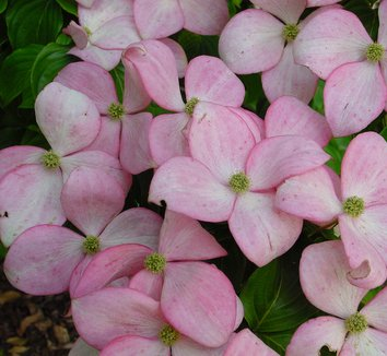 Cornus kousa 'Satomi' 1 flower