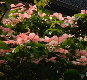 Cornus kousa 'Satomi' 8 flower