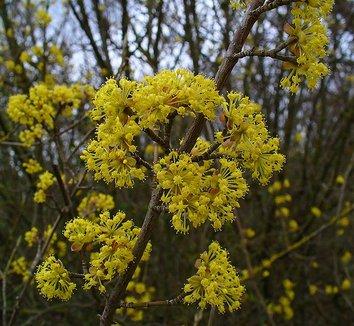 Cornus mas 8 flower