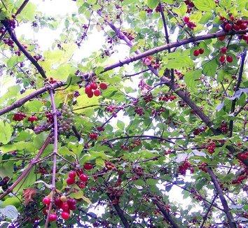 Cornus mas 3 fruit